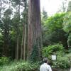 受原八幡神社の杉