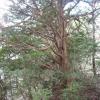 森向迫のイチイ