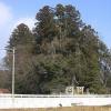白鬚神社の社叢